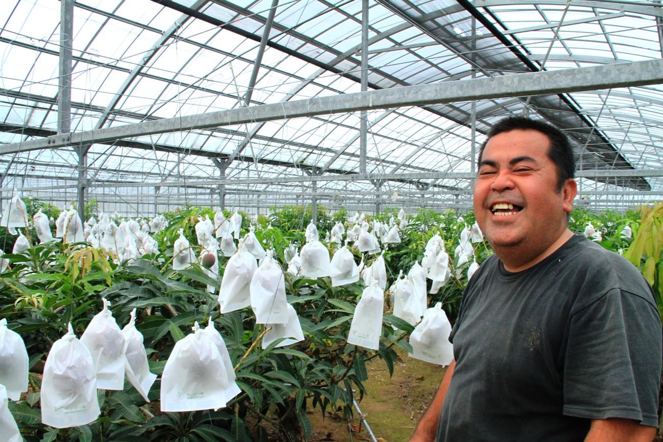 沖縄県産ケンちゃんの減農薬マンゴー 2@極上マンゴーは沖縄ジョートー市場