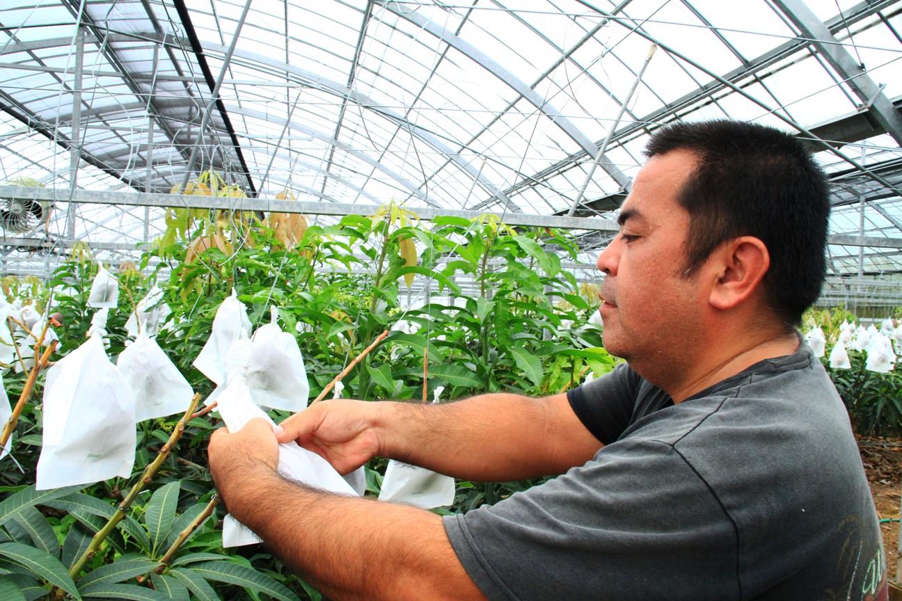 沖縄県産ケンちゃんの減農薬マンゴー @極上マンゴーは沖縄ジョートー市場