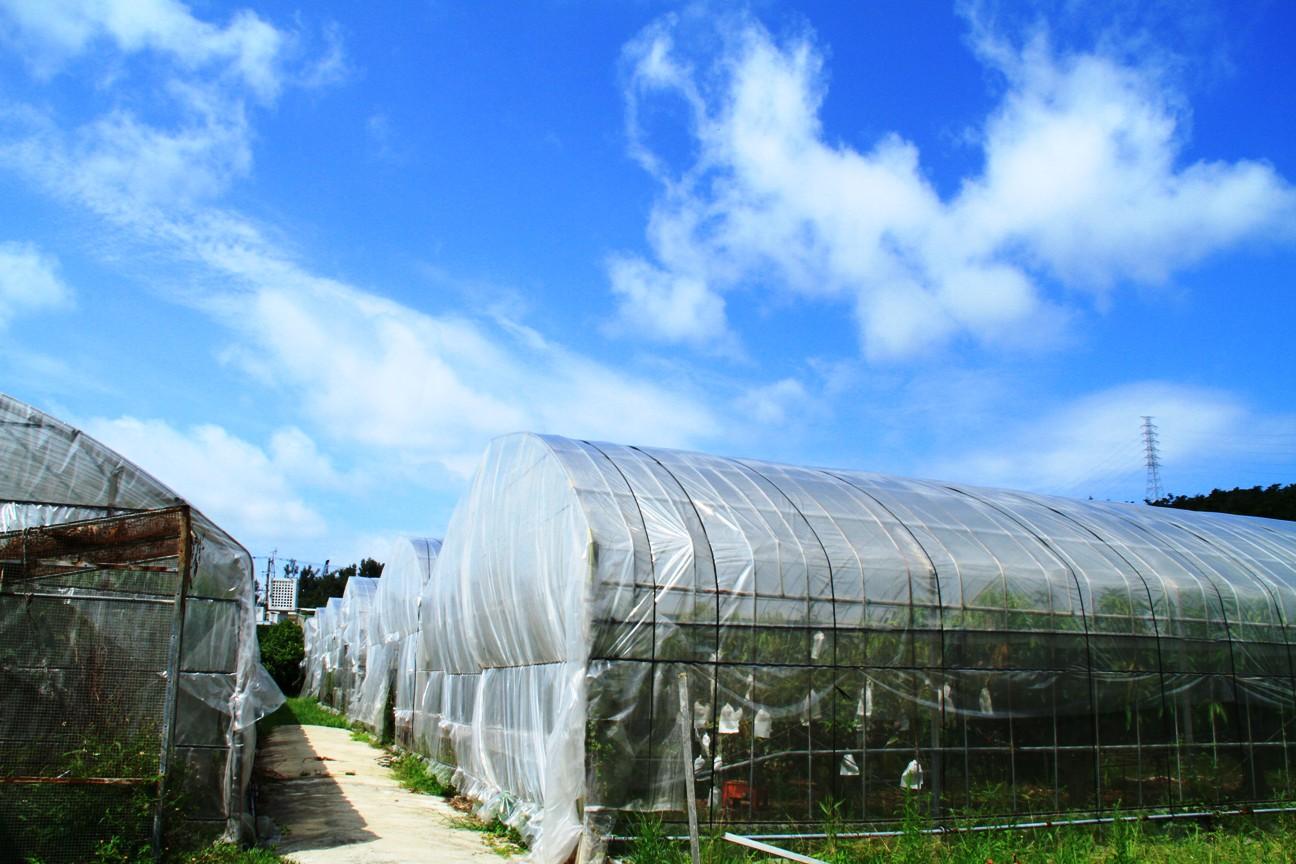 安全で美味しい沖縄県産絶品マンゴーの農園