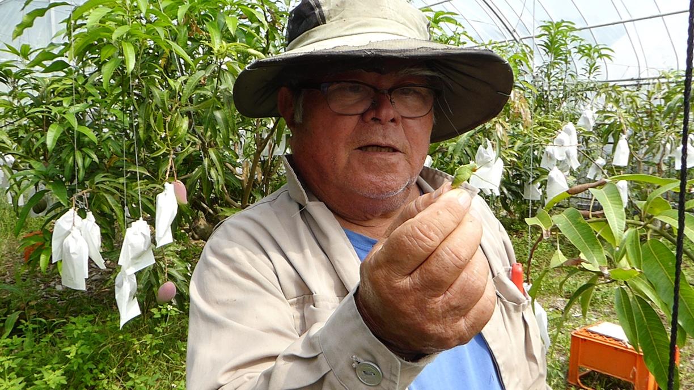 無農薬マンゴー農園でコオロギを捕まえた@極上マンゴーは沖縄ジョートー市場